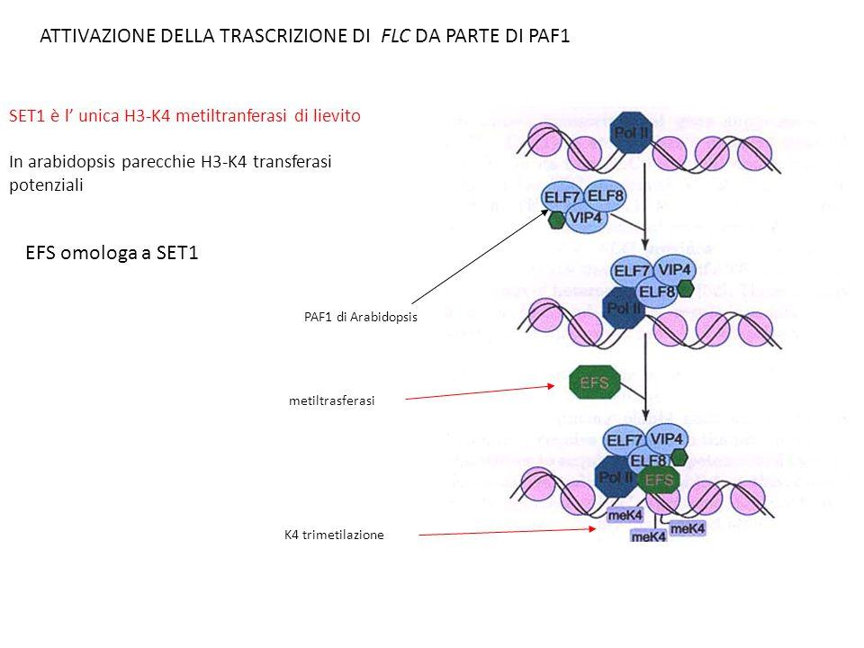 SET1 è l' unica H3-K4 metiltranferasi di lievito In arabidopsis parecchie H3-K4 transferasi potenziali ATTIVAZIONE DELLA TRASCRIZIONE DI FLC DA PARTE