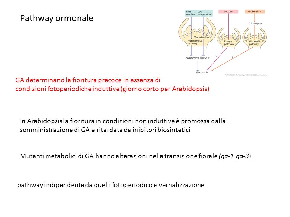 Pathway ormonale GA determinano la fioritura precoce in assenza di condizioni fotoperiodiche induttive (giorno corto per Arabidopsis) In Arabidopsis l