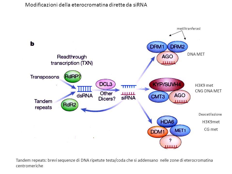 Tandem repeats: brevi sequenze di DNA ripetute testa/coda che si addensano nelle zone di eterocromatina centromeriche metiltranferasi DNA MET H3K9 met