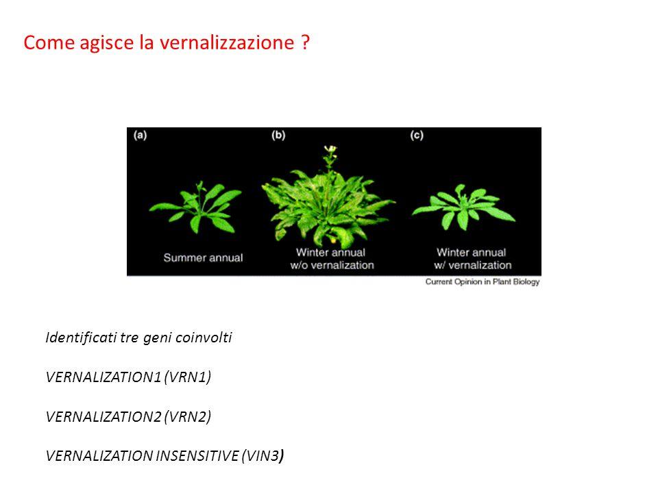 Identificati tre geni coinvolti VERNALIZATION1 (VRN1) VERNALIZATION2 (VRN2) VERNALIZATION INSENSITIVE (VIN3) Come agisce la vernalizzazione ?