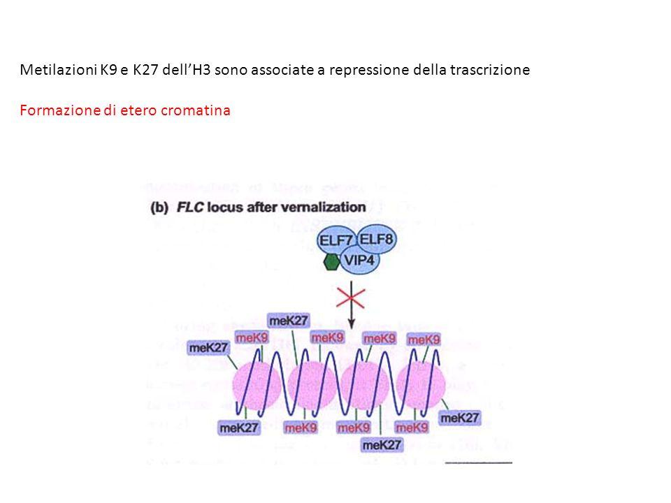 Metilazioni K9 e K27 dell'H3 sono associate a repressione della trascrizione Formazione di etero cromatina