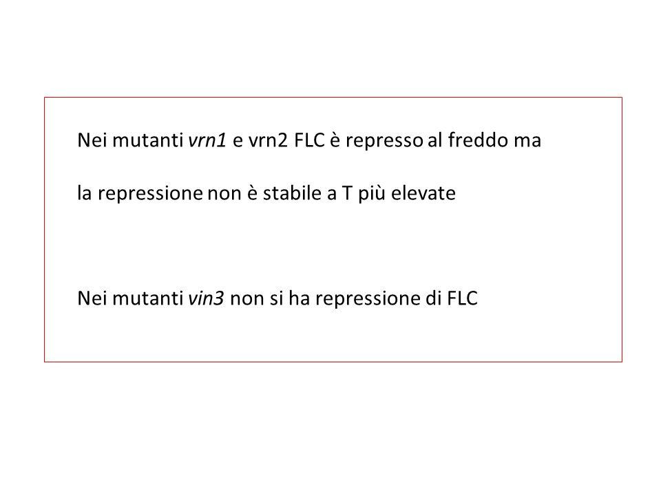 Nei mutanti vrn1 e vrn2 FLC è represso al freddo ma la repressione non è stabile a T più elevate Nei mutanti vin3 non si ha repressione di FLC