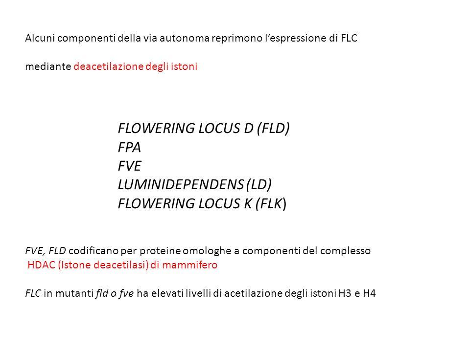 Alcuni componenti della via autonoma reprimono l'espressione di FLC mediante deacetilazione degli istoni FLOWERING LOCUS D (FLD) FPA FVE LUMINIDEPENDE