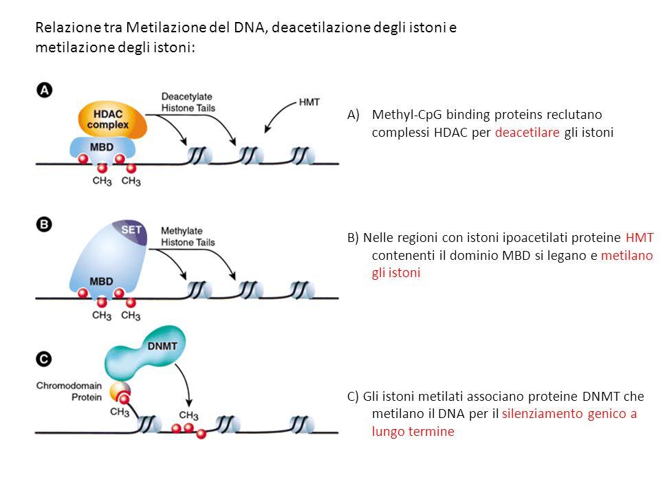 A)Methyl-CpG binding proteins reclutano complessi HDAC per deacetilare gli istoni B) Nelle regioni con istoni ipoacetilati proteine HMT contenenti il