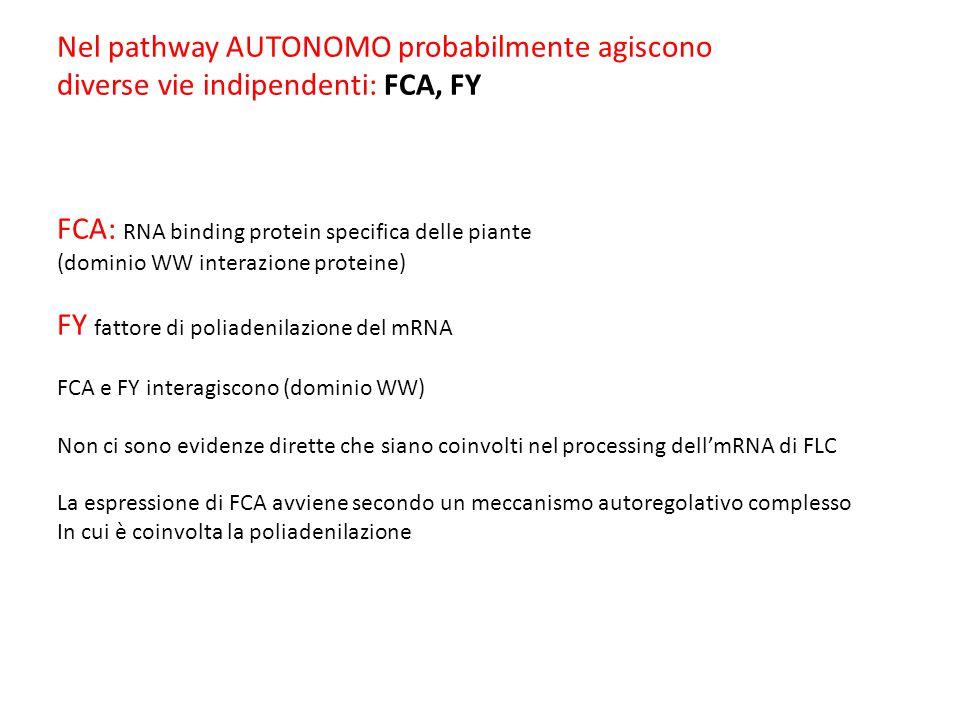 Nel pathway AUTONOMO probabilmente agiscono diverse vie indipendenti: FCA, FY FCA: RNA binding protein specifica delle piante (dominio WW interazione