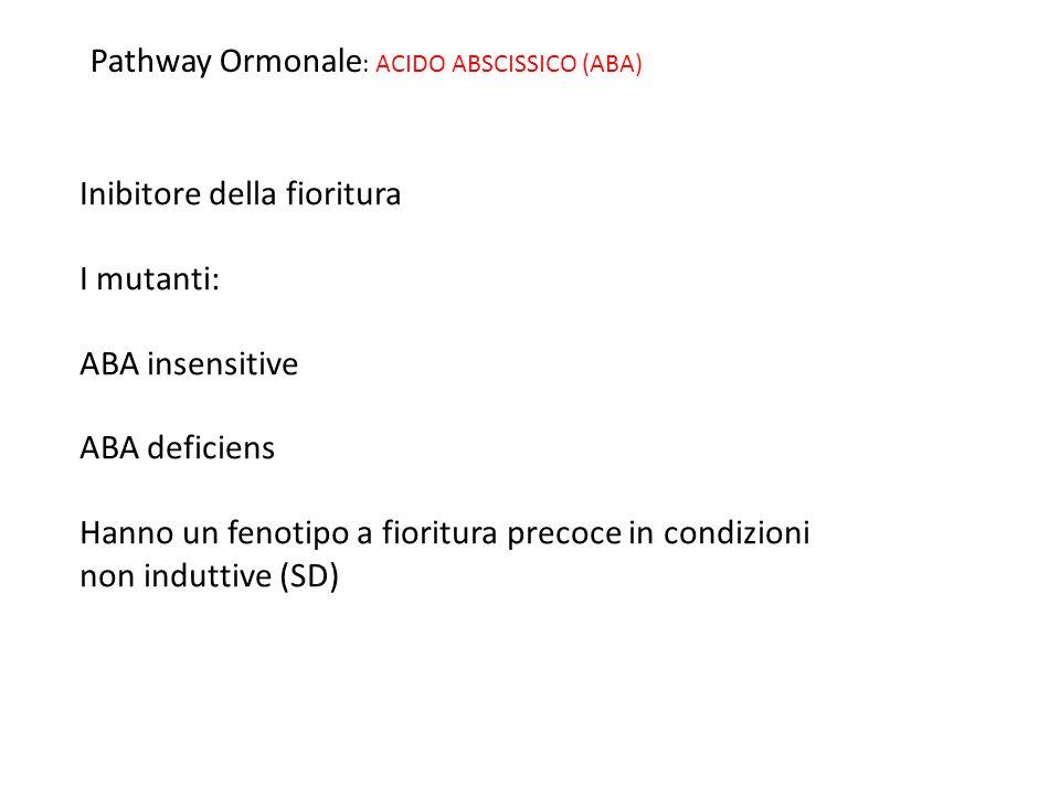 Pathway Ormonale : ACIDO ABSCISSICO (ABA) Inibitore della fioritura I mutanti: ABA insensitive ABA deficiens Hanno un fenotipo a fioritura precoce in