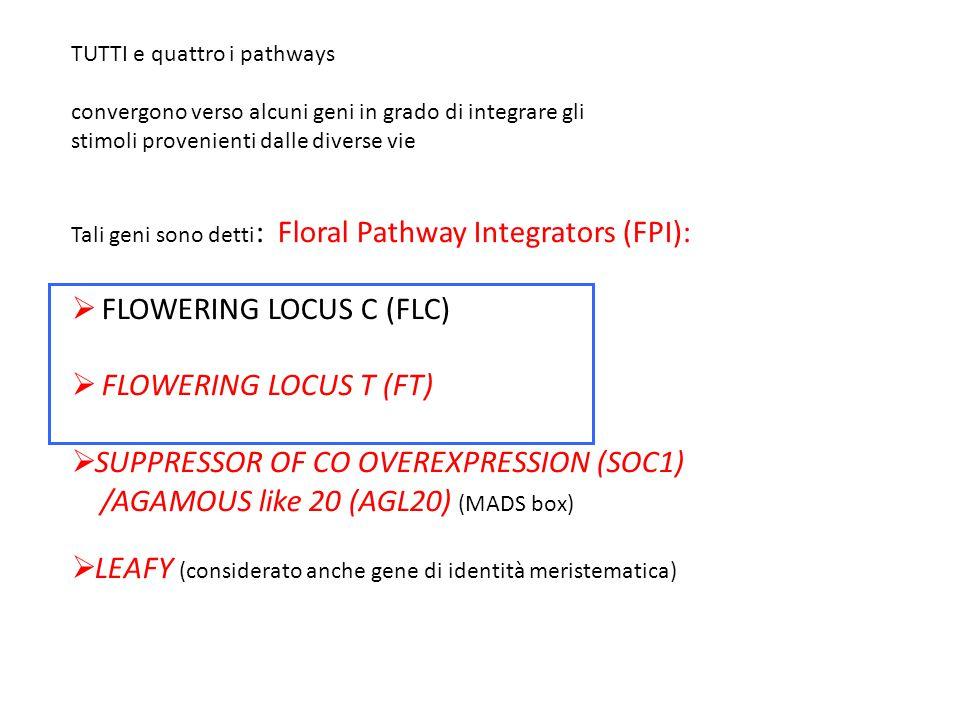 TUTTI e quattro i pathways convergono verso alcuni geni in grado di integrare gli stimoli provenienti dalle diverse vie Tali geni sono detti : Floral