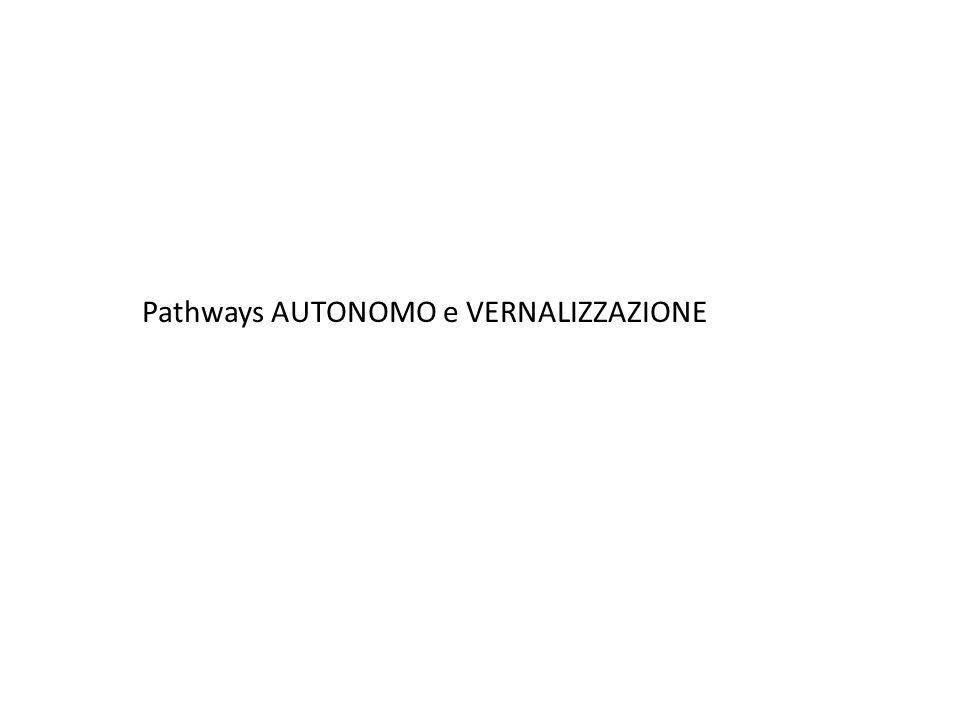 Pathways AUTONOMO e VERNALIZZAZIONE