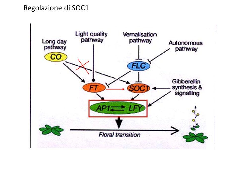 Regolazione di SOC1