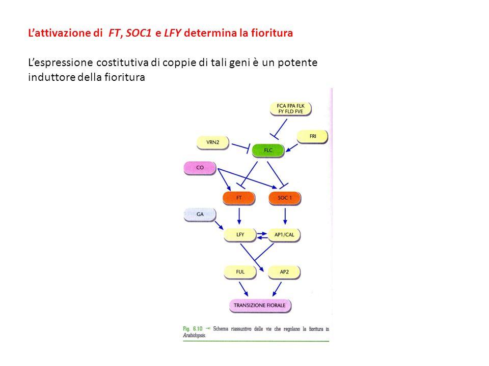 L'attivazione di FT, SOC1 e LFY determina la fioritura L'espressione costitutiva di coppie di tali geni è un potente induttore della fioritura