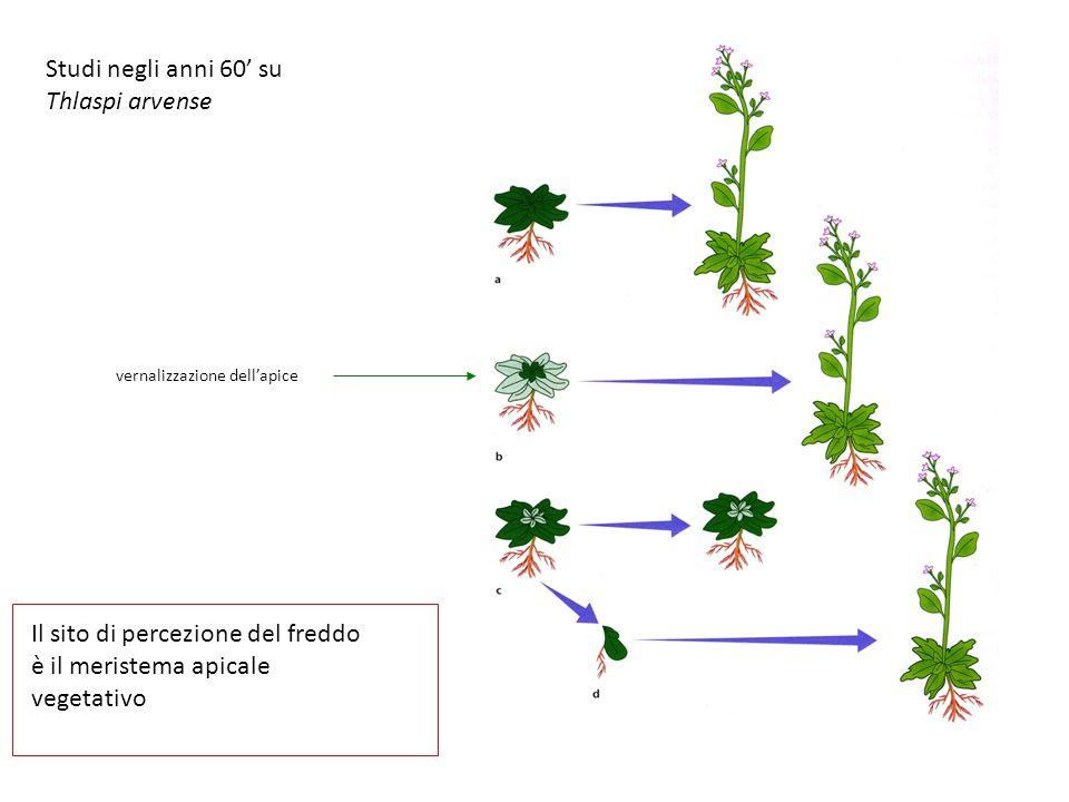 Studi negli anni 60' su Thlaspi arvense Il sito di percezione del freddo è il meristema apicale vegetativo vernalizzazione dell'apice