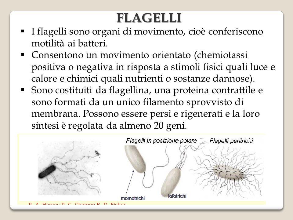  I flagelli sono organi di movimento, cioè conferiscono motilità ai batteri.  Consentono un movimento orientato (chemiotassi positiva o negativa in
