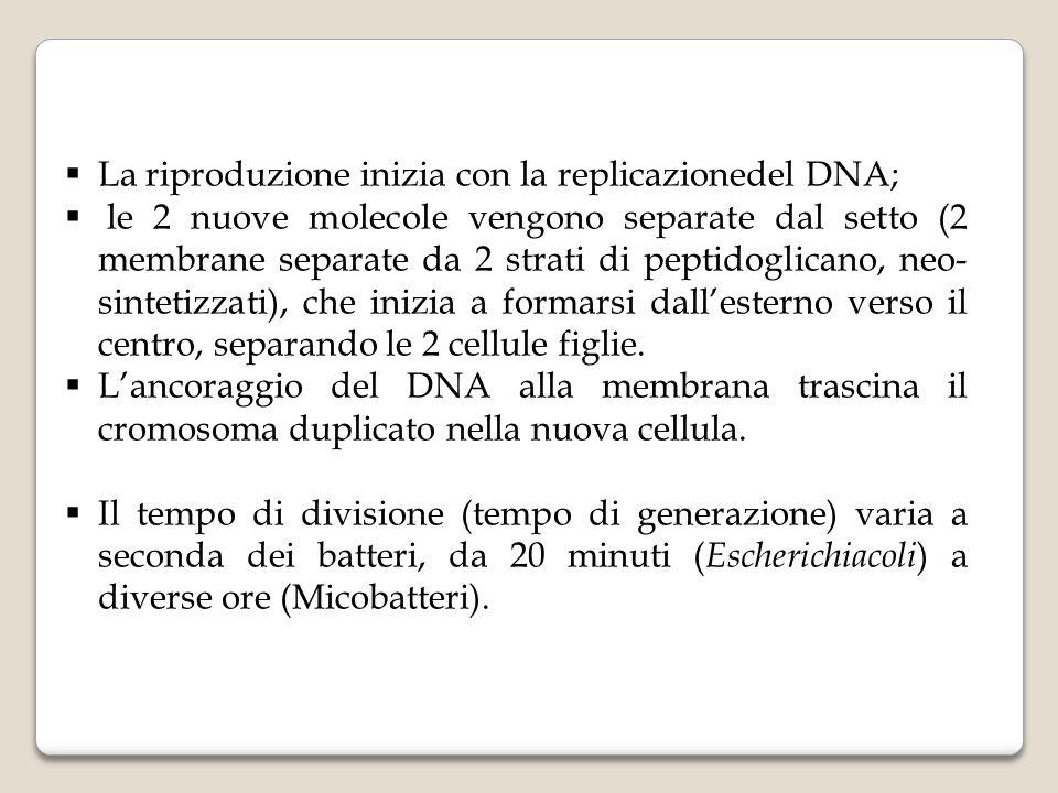  La riproduzione inizia con la replicazionedel DNA;  le 2 nuove molecole vengono separate dal setto (2 membrane separate da 2 strati di peptidoglica