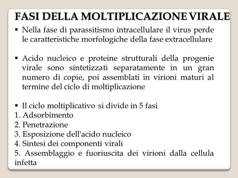  Nella fase di parassitismo intracellulare il virus perde le caratteristiche morfologiche della fase extracellulare  Acido nucleico e proteine strut