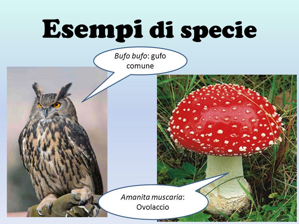 Esempi di specie Bufo bufo: gufo comune Amanita muscaria: Ovolaccio