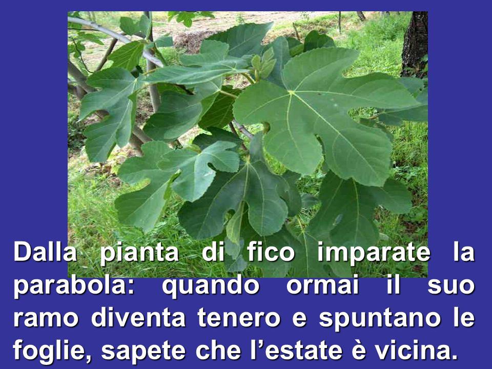 Dalla pianta di fico imparate la parabola: quando ormai il suo ramo diventa tenero e spuntano le foglie, sapete che l'estate è vicina.