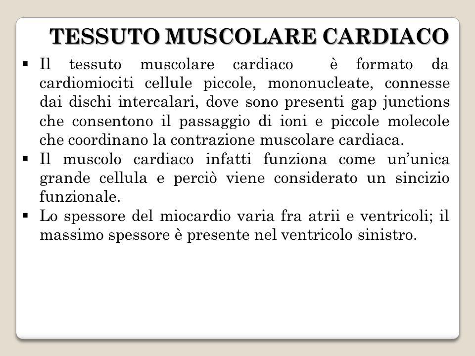  Il tessuto muscolare cardiaco è formato da cardiomiociti cellule piccole, mononucleate, connesse dai dischi intercalari, dove sono presenti gap junctions che consentono il passaggio di ioni e piccole molecole che coordinano la contrazione muscolare cardiaca.