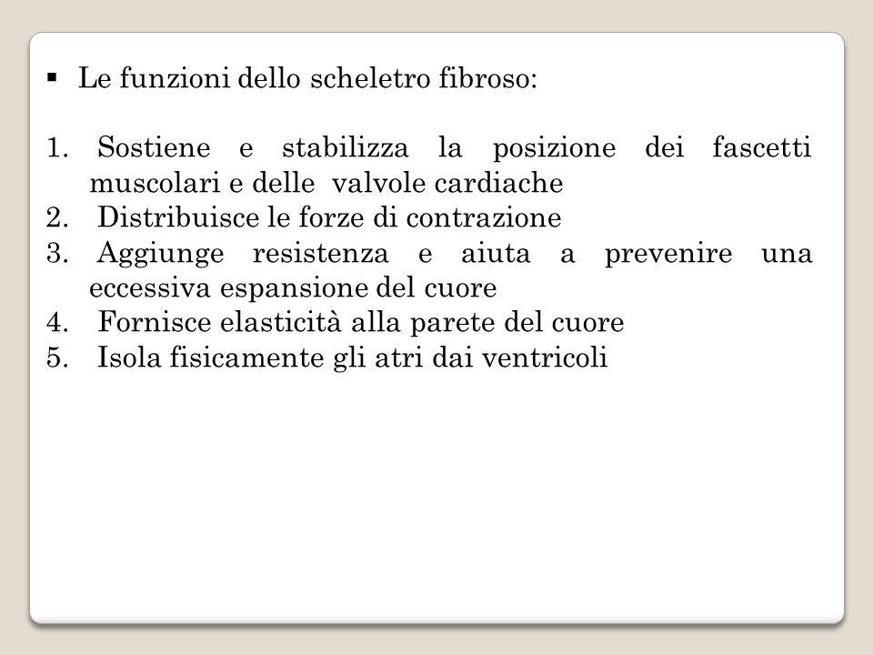  Le funzioni dello scheletro fibroso: 1. Sostiene e stabilizza la posizione dei fascetti muscolari e delle valvole cardiache 2. Distribuisce le forze