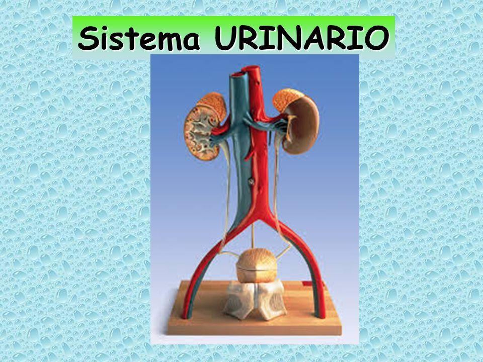 Riassorbimento di Glucosio Inizia attivamente mediante co-trasposrto con il Na attraverso la membrana apicale, seguito per diffusione facilitata attraverso la membrana basolaterale.