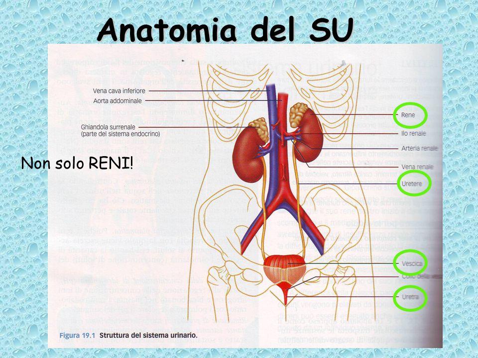 Anatomia del SU Non solo RENI!