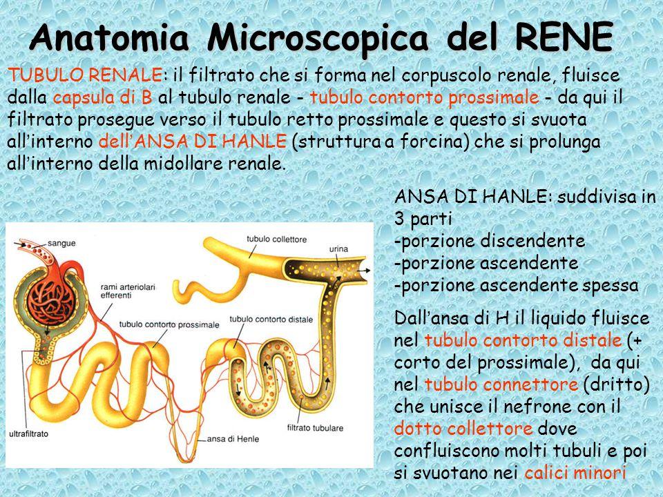 Anatomia Microscopica del RENE TUBULO RENALE: il filtrato che si forma nel corpuscolo renale, fluisce dalla capsula di B al tubulo renale - tubulo contorto prossimale - da qui il filtrato prosegue verso il tubulo retto prossimale e questo si svuota all'interno dell'ANSA DI HANLE (struttura a forcina) che si prolunga all'interno della midollare renale.
