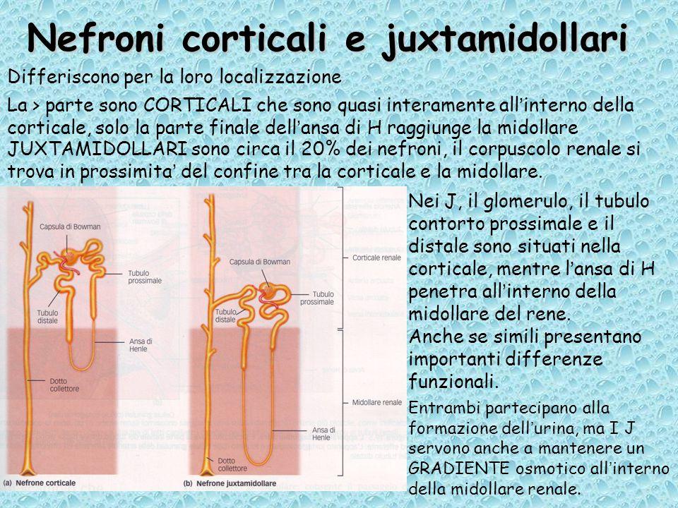 Nefroni corticali e juxtamidollari Differiscono per la loro localizzazione Nei J, il glomerulo, il tubulo contorto prossimale e il distale sono situati nella corticale, mentre l'ansa di H penetra all'interno della midollare del rene.