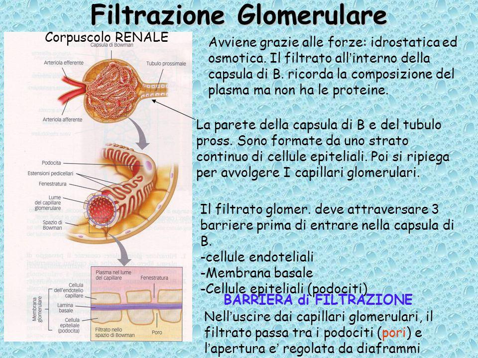 Filtrazione Glomerulare Avviene grazie alle forze: idrostatica ed osmotica.