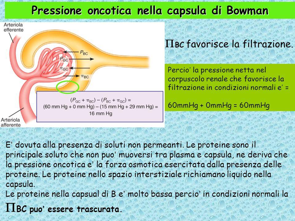 Pressione oncotica nella capsula di Bowman  BC favorisce la filtrazione.