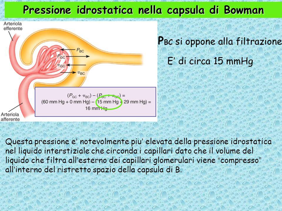 Pressione idrostatica nella capsula di Bowman P BC si oppone alla filtrazione.
