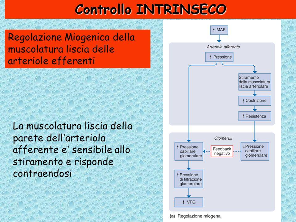 Controllo INTRINSECO Regolazione Miogenica della muscolatura liscia delle arteriole efferenti La muscolatura liscia della parete dell'arteriola afferente e' sensibile allo stiramento e risponde contraendosi