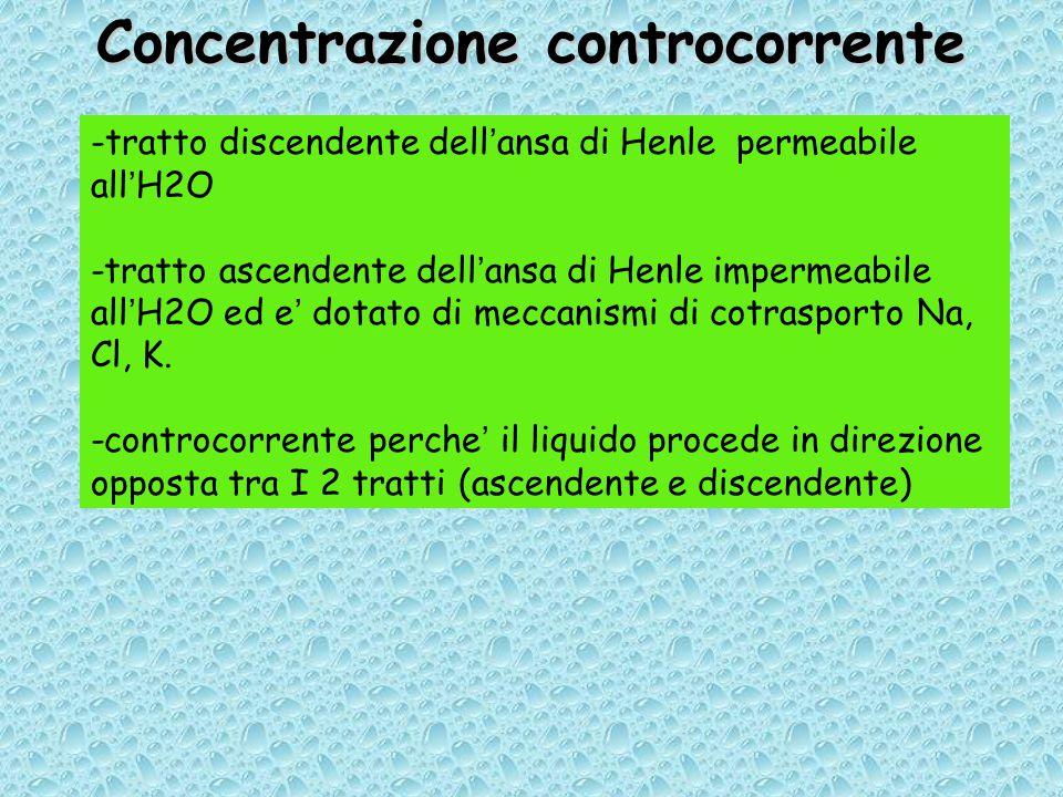 Concentrazione controcorrente -tratto discendente dell'ansa di Henle permeabile all'H2O -tratto ascendente dell'ansa di Henle impermeabile all'H2O ed e' dotato di meccanismi di cotrasporto Na, Cl, K.