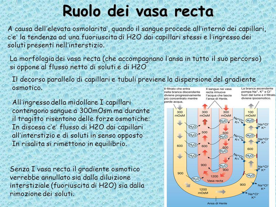 Ruolo dei vasa recta A causa dell'elevata osmolarita', quando il sangue procede all'interno dei capillari, c'e' la tendenza ad una fuoriuscita di H2O dai capillari stessi e l'ingresso dei soluti presenti nell'interstizio.