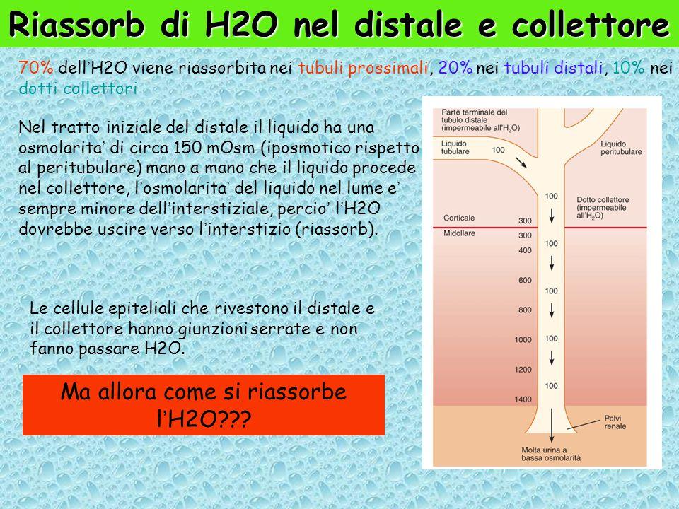 Riassorb di H2O nel distale e collettore 70% dell'H2O viene riassorbita nei tubuli prossimali, 20% nei tubuli distali, 10% nei dotti collettori Nel tratto iniziale del distale il liquido ha una osmolarita' di circa 150 mOsm (iposmotico rispetto al peritubulare) mano a mano che il liquido procede nel collettore, l'osmolarita' del liquido nel lume e' sempre minore dell'interstiziale, percio' l'H2O dovrebbe uscire verso l'interstizio (riassorb).