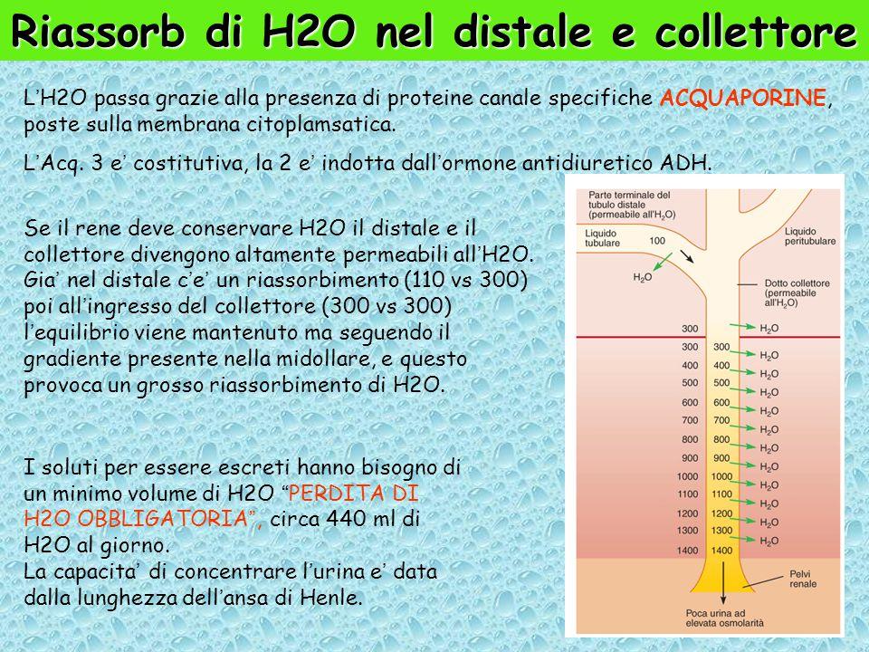 Riassorb di H2O nel distale e collettore L'H2O passa grazie alla presenza di proteine canale specifiche ACQUAPORINE, poste sulla membrana citoplamsatica.