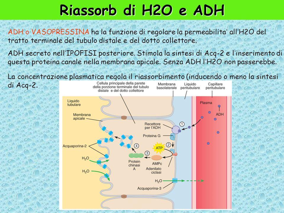 Riassorb di H2O e ADH ADH o VASOPRESSINA ha la funzione di regolare la permeabilita' all'H2O del tratto terminale del tubulo distale e del dotto collettore.