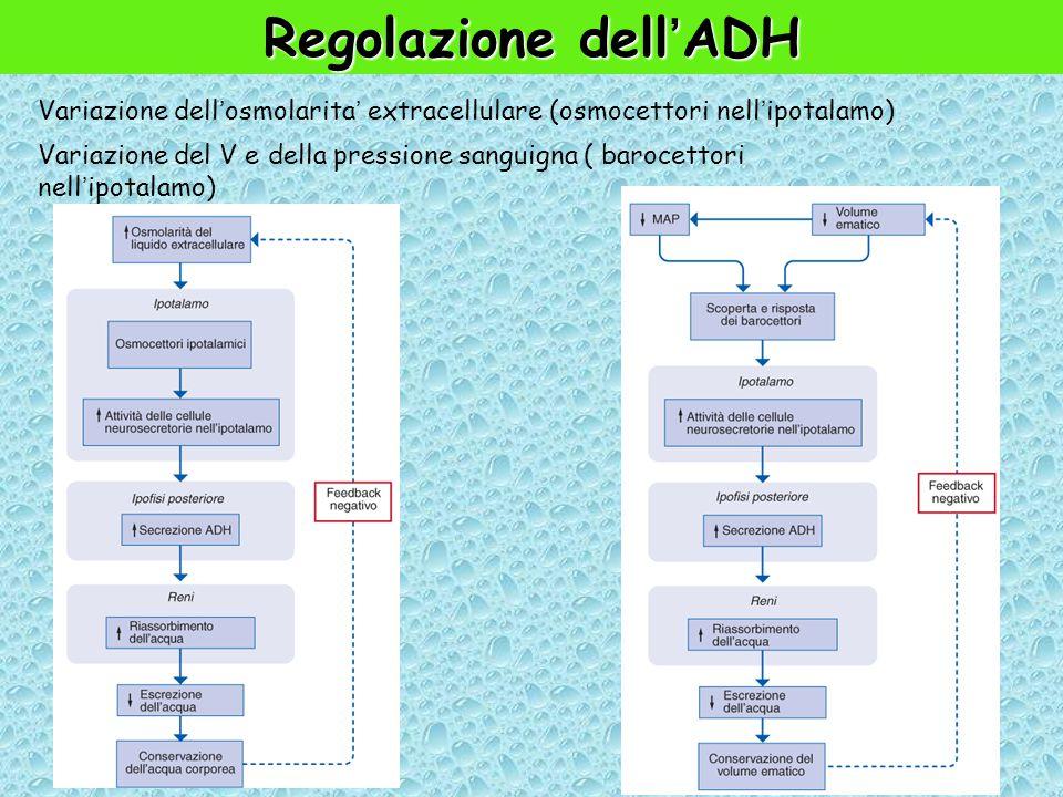 Regolazione dell'ADH Variazione dell'osmolarita' extracellulare (osmocettori nell'ipotalamo) Variazione del V e della pressione sanguigna ( barocettori nell'ipotalamo)