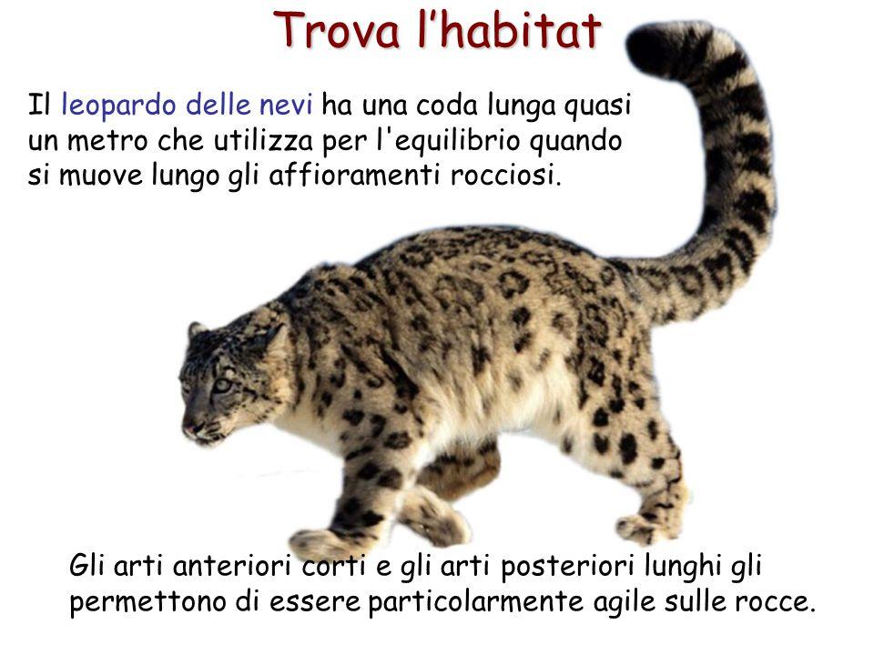 15 Trova l'habitat Il leopardo delle nevi ha una coda lunga quasi un metro che utilizza per l'equilibrio quando si muove lungo gli affioramenti roccio
