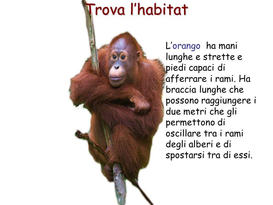18 Trova l'habitat L'orango ha mani lunghe e strette e piedi capaci di afferrare i rami. Ha braccia lunghe che possono raggiungere i due metri che gli