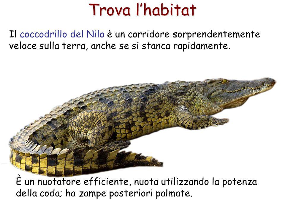 21 Trova l'habitat Il coccodrillo del Nilo è un corridore sorprendentemente veloce sulla terra, anche se si stanca rapidamente. È un nuotatore efficie