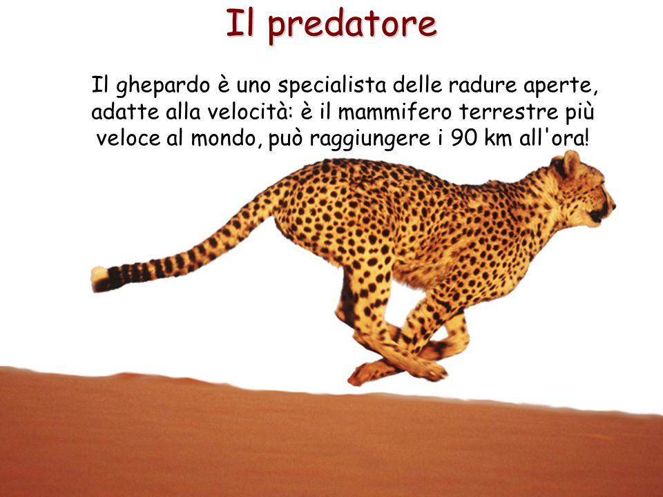 26 Il predatore Il ghepardo è uno specialista delle radure aperte, adatte alla velocità: è il mammifero terrestre più veloce al mondo, può raggiungere
