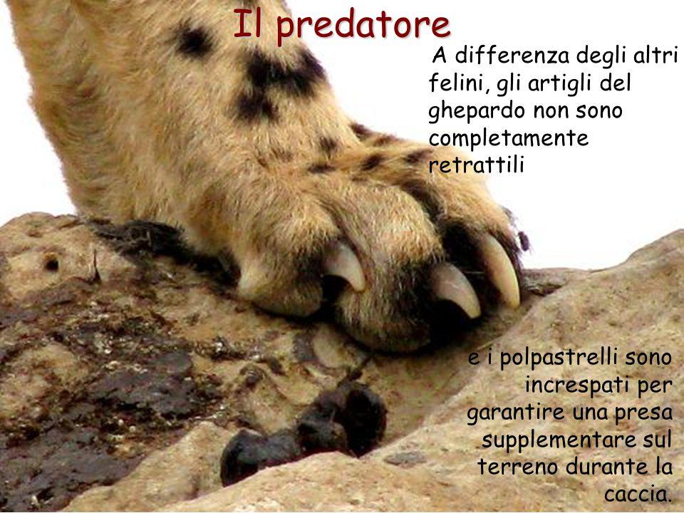 27 Il predatore A differenza degli altri felini, gli artigli del ghepardo non sono completamente retrattili e i polpastrelli sono increspati per garan