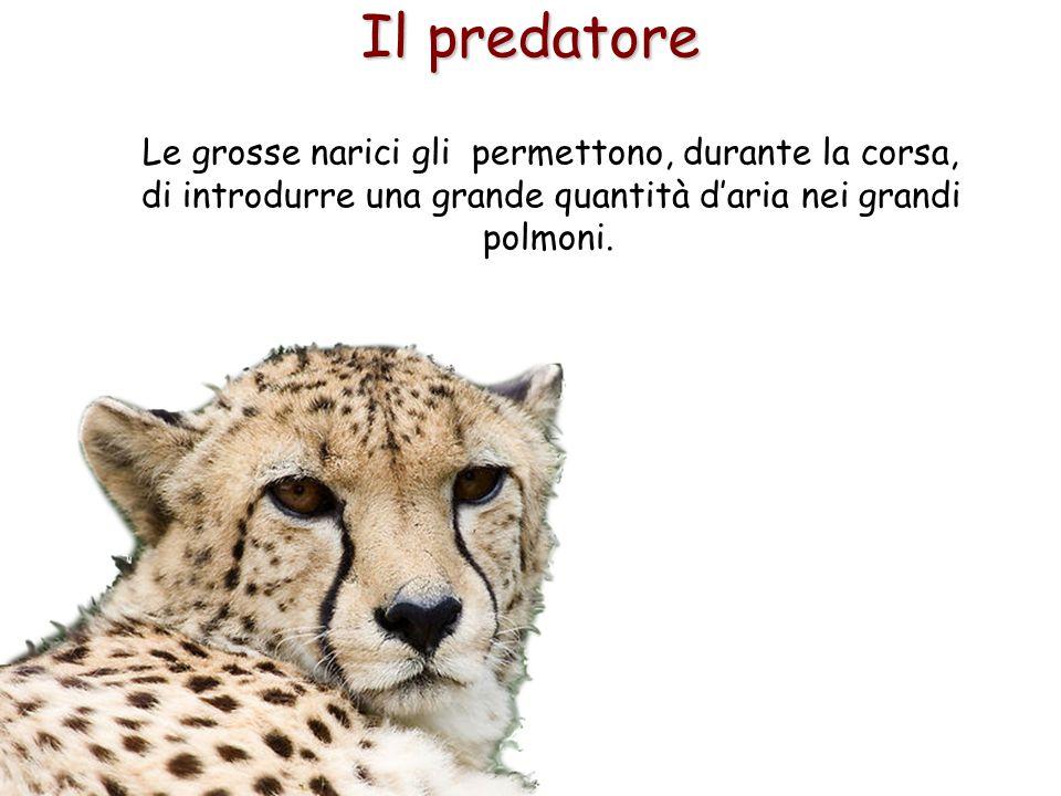 28 Il predatore Le grosse narici gli permettono, durante la corsa, di introdurre una grande quantità d'aria nei grandi polmoni.