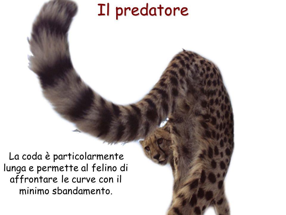 29 Il predatore La coda è particolarmente lunga e permette al felino di affrontare le curve con il minimo sbandamento.