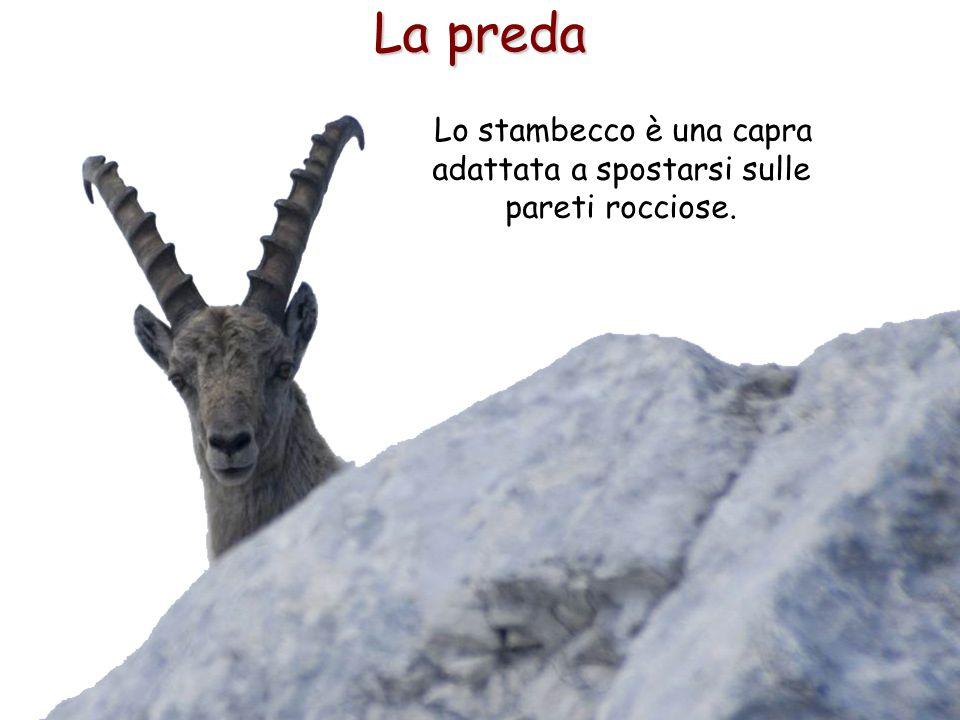 31 La preda Lo stambecco è una capra adattata a spostarsi sulle pareti rocciose.