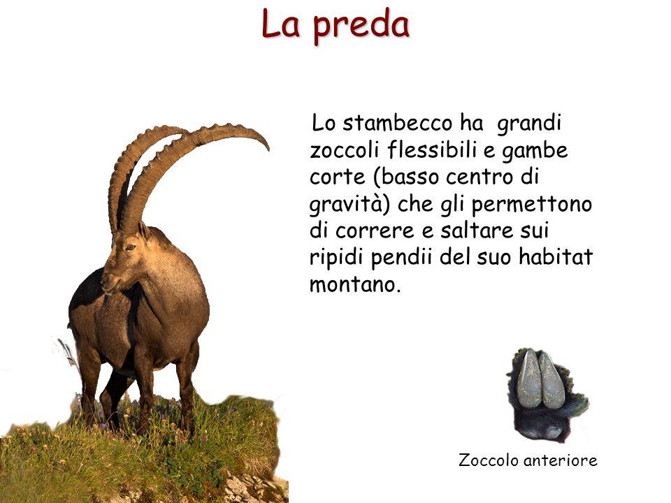 32 La preda Lo stambecco ha grandi zoccoli flessibili e gambe corte (basso centro di gravità) che gli permettono di correre e saltare sui ripidi pendi