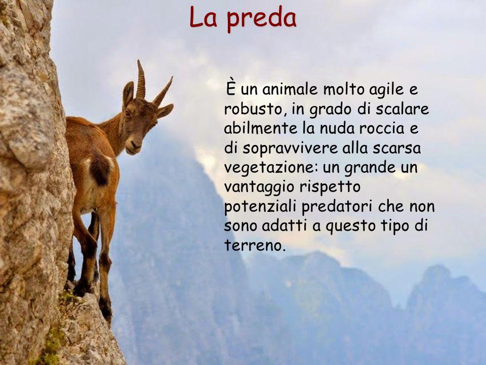 33 La preda È un animale molto agile e robusto, in grado di scalare abilmente la nuda roccia e di sopravvivere alla scarsa vegetazione: un grande un v