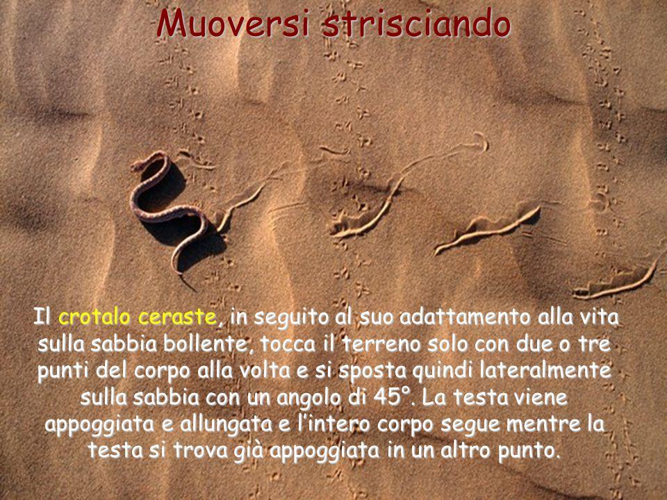 35 Muoversi strisciando Il crotalo ceraste, in seguito al suo adattamento alla vita sulla sabbia bollente, tocca il terreno solo con due o tre punti d