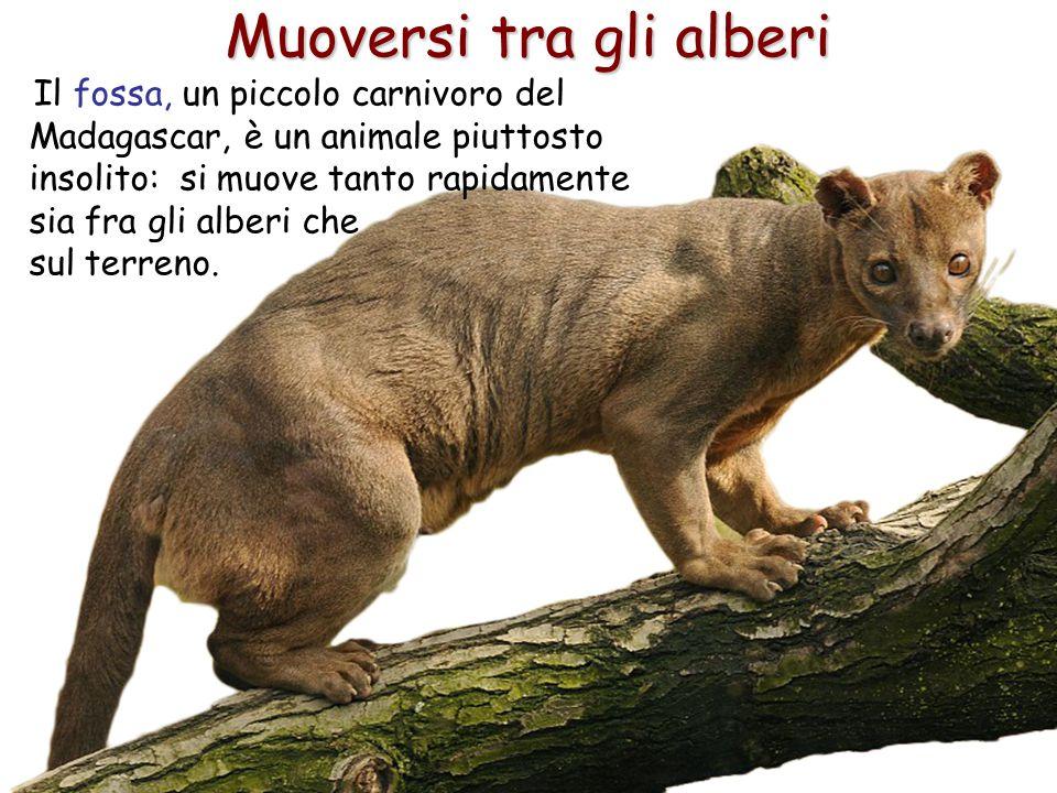 39 Muoversi tra gli alberi Il fossa, un piccolo carnivoro del Madagascar, è un animale piuttosto insolito: si muove tanto rapidamente sia fra gli albe