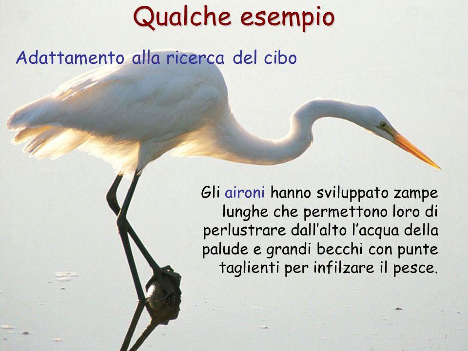 4 Qualche esempio Adattamento alla ricerca del cibo Gli aironi hanno sviluppato zampe lunghe che permettono loro di perlustrare dall'alto l'acqua dell