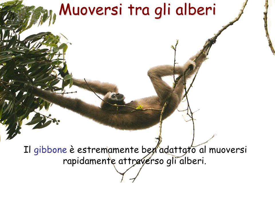 41 Muoversi tra gli alberi Il gibbone è estremamente ben adattato al muoversi rapidamente attraverso gli alberi.